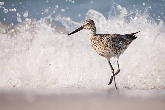 Willet Wave Running by mattcuda - Animals And Water Photo Contest