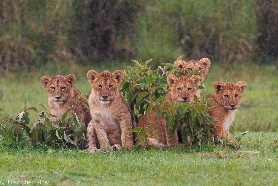five lion cubs in the rain, Tanzania safari, april 2016
