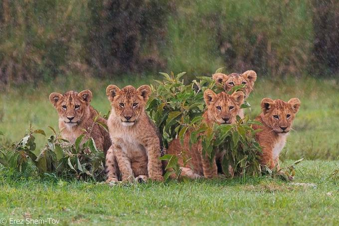 lion cubs by erezs - World Photography Day Photo Contest 2018