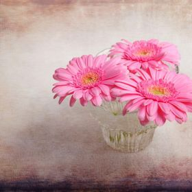 Three beauties in a bowl.  Delicate pink flowers with texture layers added in Photoshop.