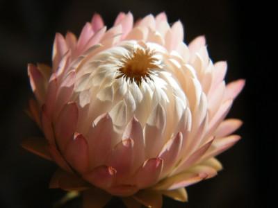 Largest Helichrysum