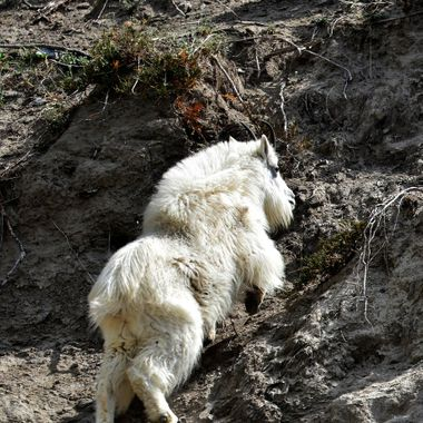 This goat really went up the hill fast!