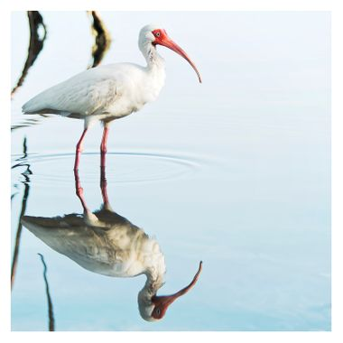 The Ibis. Divine bird, inventor of mathematics in Egyptian mythology.