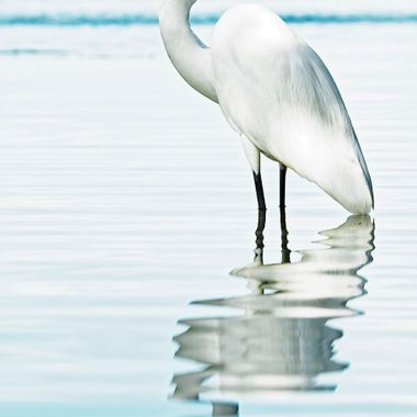 The Great White Egret was nearly brought to extinction due to human empty vanity. Their feathers were used to decorate ladies' hats and were more valuable than gold at one point. How useless...to pretend beauty through death and desecration.