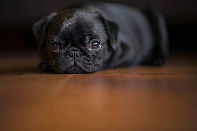 Paisley Pug by kimaikawa - Kittens vs Puppies Photo Contest