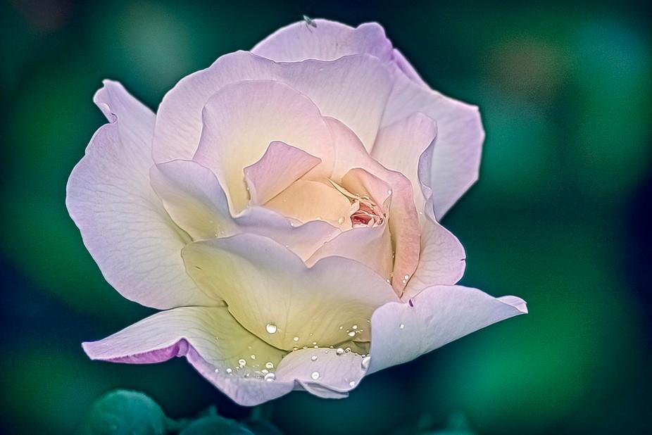 Dewdrop Rose 30x20