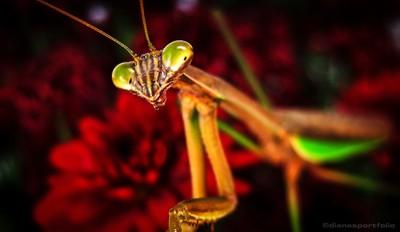 Mantis :: dianesportfolio