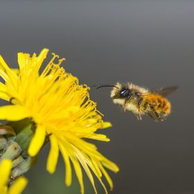 It must be dinner time, a simple bee coming in to land on a flower