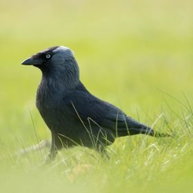 Jackdaw walking on green with shallow DOF