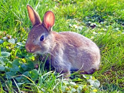 Rabbit - baby