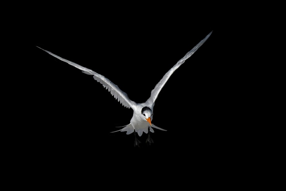 Royal Tern in black
