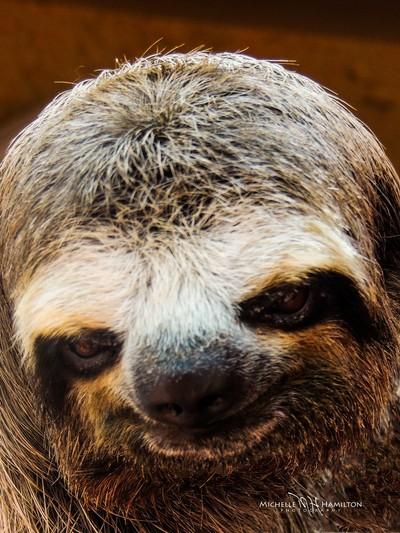 Maria, the Three Toed Sloth