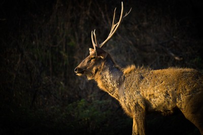 Deer in Golden Hour