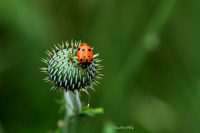 Ladybug on thistle bud by justkim1106 - Small Things In Nature Photo Contest