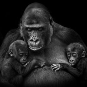Gorilla N'Gayla and her twins: N'Kato and N'Hasa. Born June 13, 2013 in Burgers Zoo, The zoo in Arnhem, the Netherlands.