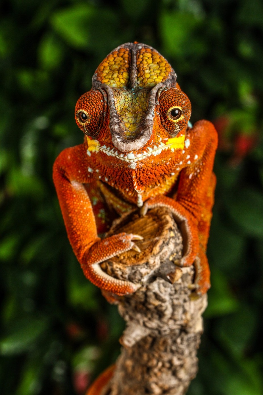 Rusty by garrychisholm - Reptiles Photo Contest