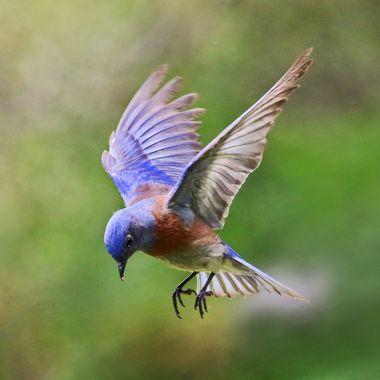 Western Bluebird IMG_0449