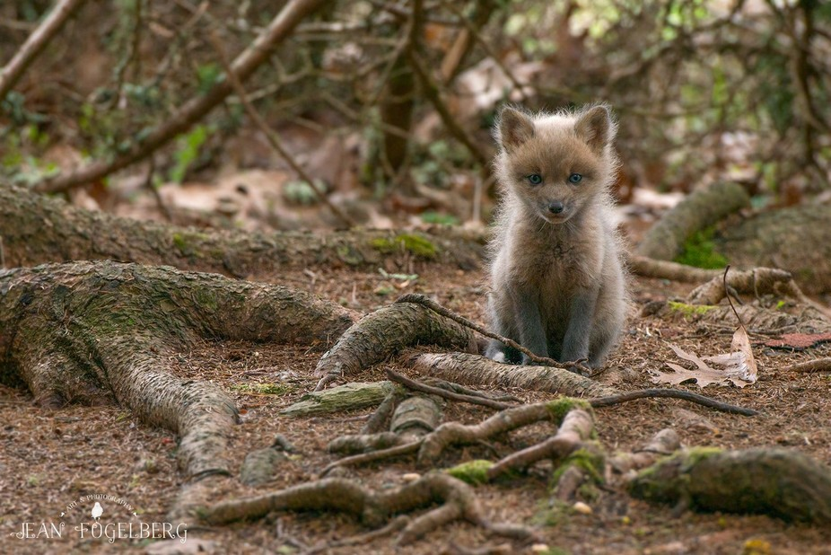 I came upon this wee fox kit and his siblings on an overcast day in the woods near my home.