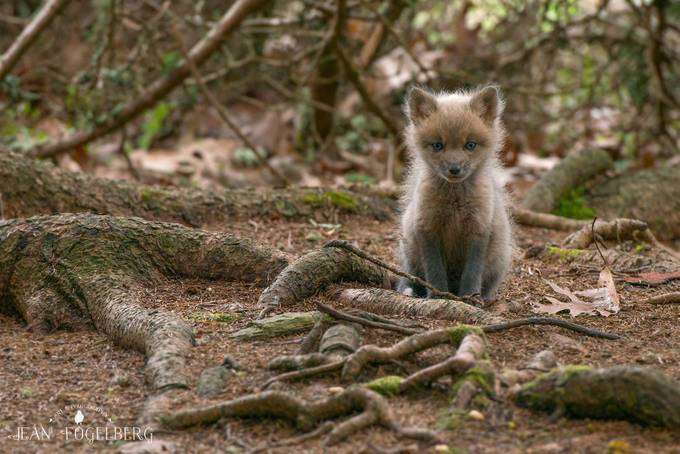 Wee Fox Kit by jeanmfogelberg - Small Things In Nature Photo Contest