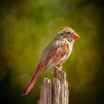 Posted Female Cardinal Sunny Green