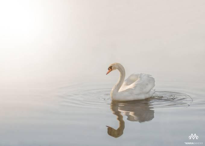 Beautyful Swan by MariaBander