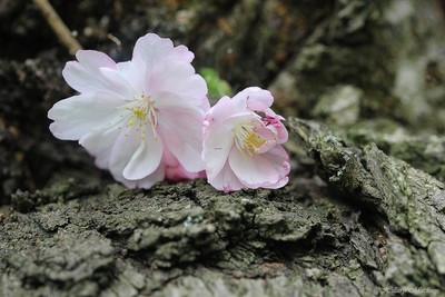 Cherry Blossoms at the base of the tree