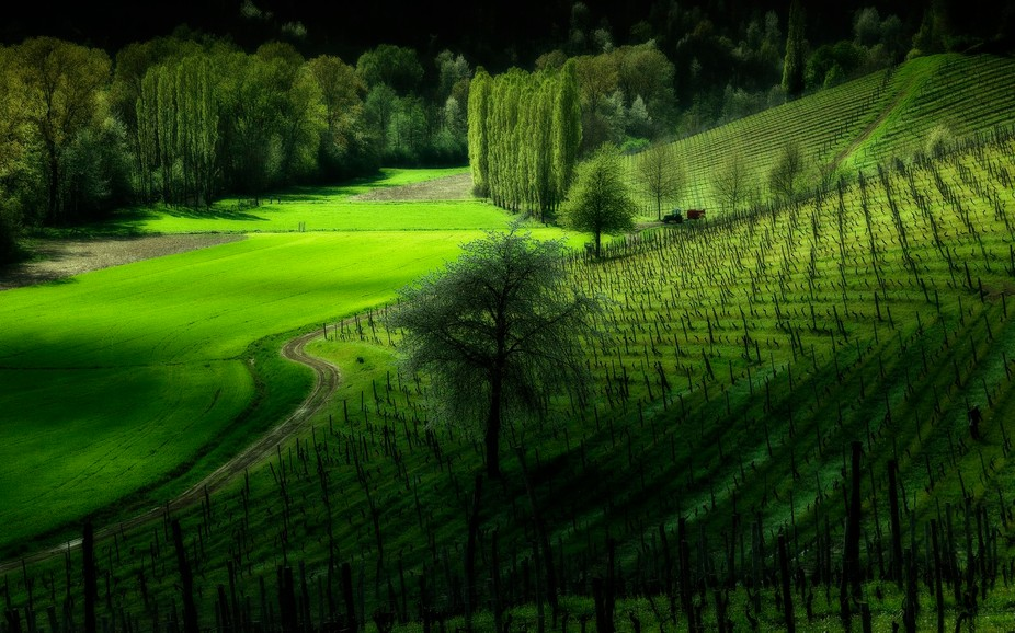 Vineyard in italian hills.