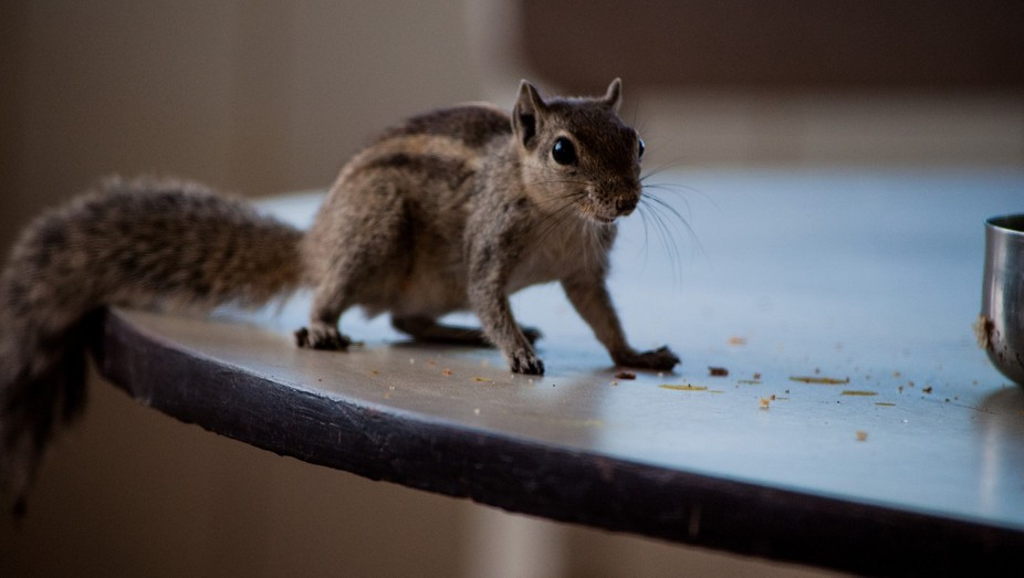 Squirrel on a dining table to have breakfast