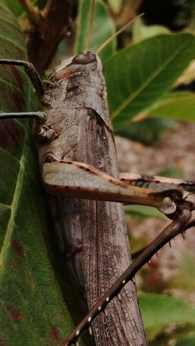 Locust #2
