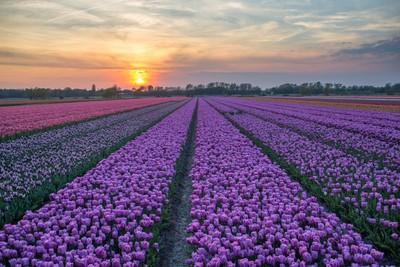 Field of tulips_3