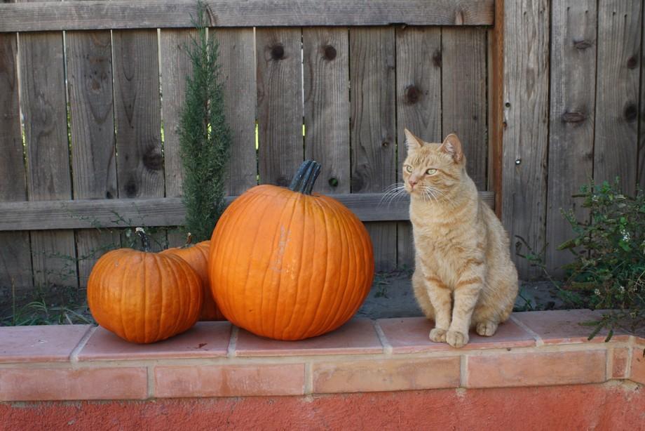 An orange cat that is as almost as orange as a pumpkin