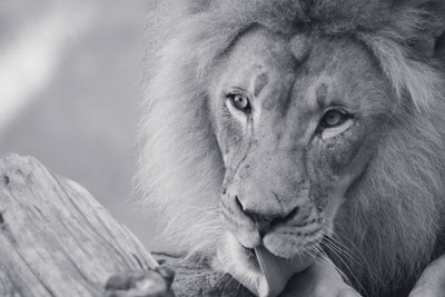 King of the Jungle(B&W)