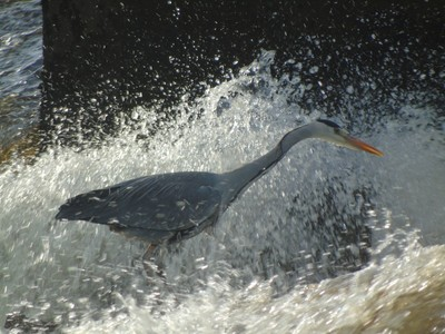 Heron in the salmon count