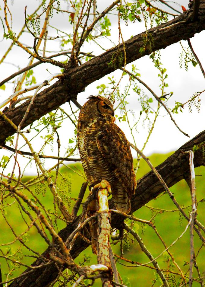Another great shot with the tree frame as well as a great shot from the side of this beautiful owl.