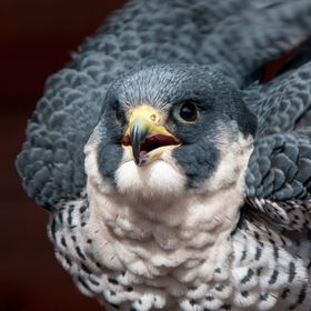 PEREGRINE FALCON FLUFFED UP