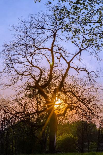 Walnut tree silhouette
