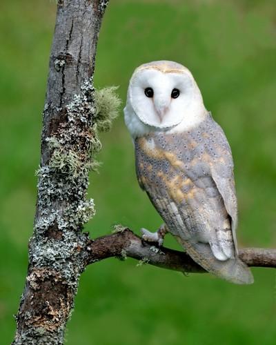 Barn Owl_02
