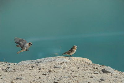 Rufous Necked Snowfinch