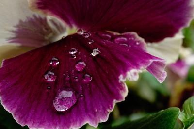 Drops on Purple Flower