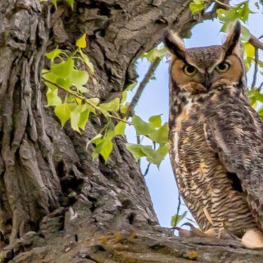 Great Horned Owl Scowl