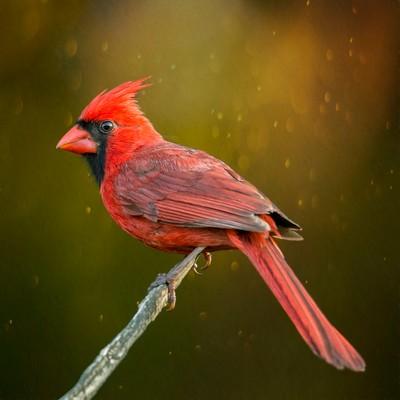 Redbird On A Stick