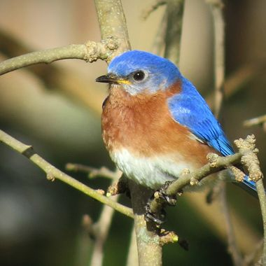 Missouri Blue bird 3