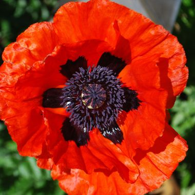 DSC_8414 Red Oriental Poppy