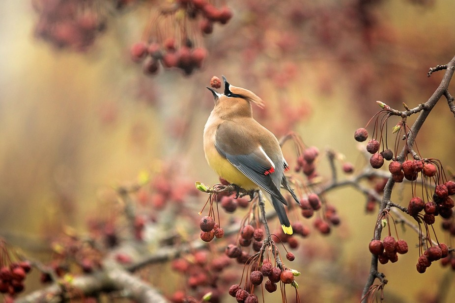 The Cedar Waxwing, a harbinger of Spring in the Midwest, feasts on the succulent berries of a cra...
