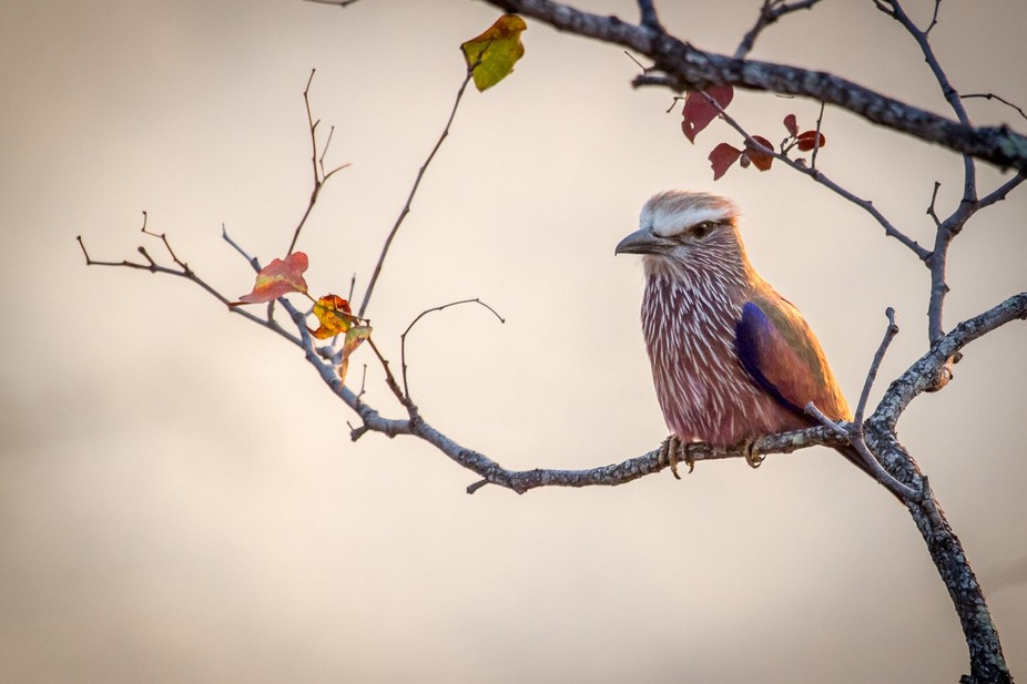 Purple Roller, Kruger National Park, Limpopo South Africa