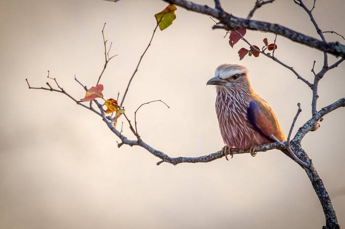 Purple Roller by wildpainter - Animals And Rule Of Thirds Photo Contest