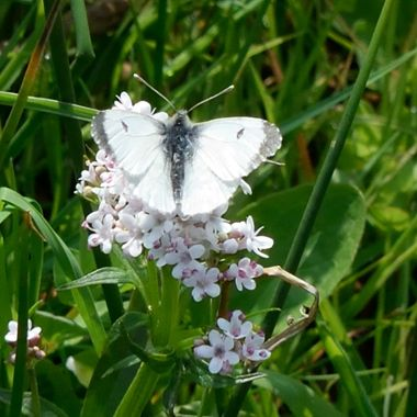 Small White Butterfly on Southrepps Nature Reserve, Norfolk, UK.