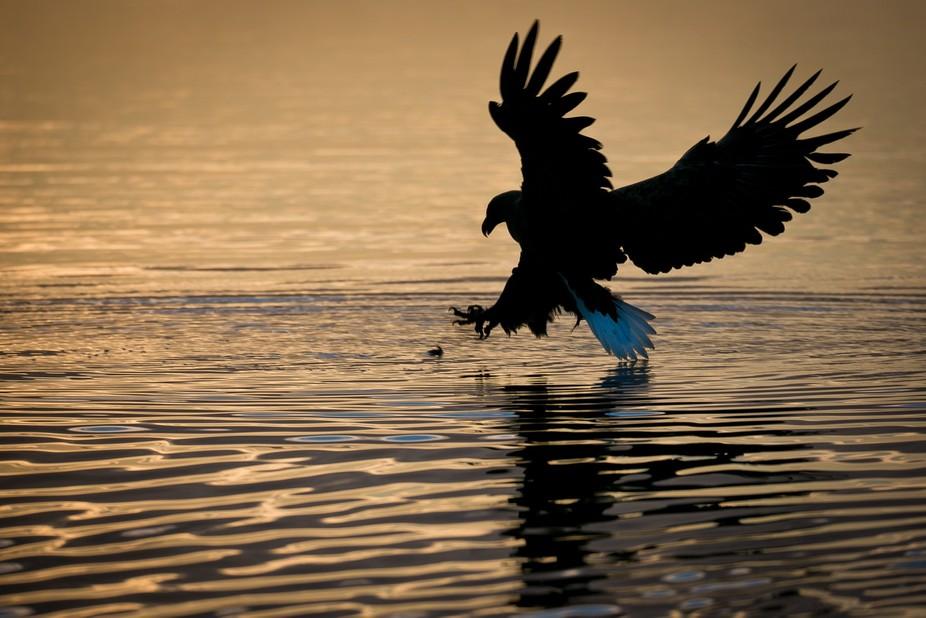 Sea Eagle takes a fish