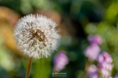 Colorful Dandelion 'Clock'