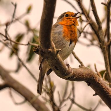A Robin singing in Bodnant Gardens North Wales